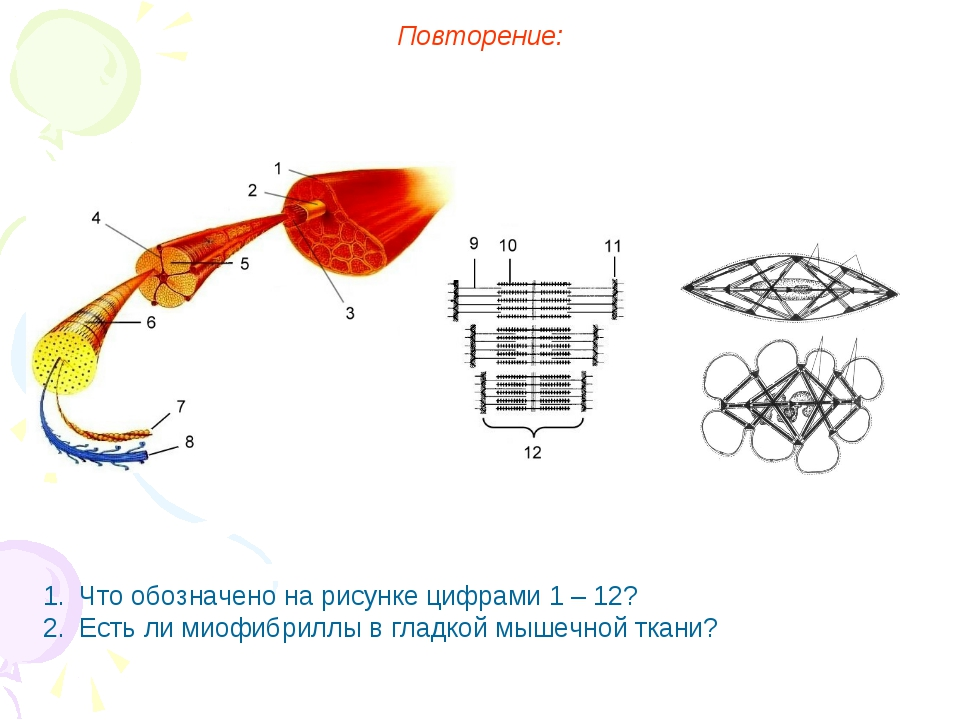 Повторение: Что обозначено на рисунке цифрами 1 – 12? Есть ли миофибриллы в г...