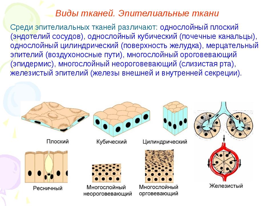 Среди эпителиальных тканей различают: однослойный плоский (эндотелий сосудов)...