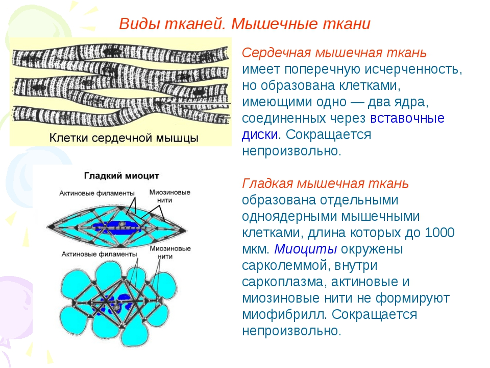 Виды тканей. Мышечные ткани Сердечная мышечная ткань имеет поперечную исчерче...
