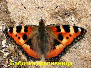Эту бабочку назвали именно так, потому что её гусеницы живут на крапиве. Бабо