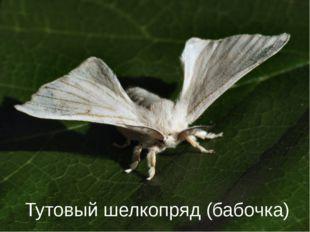 От гусениц какого насекомого люди раньше получали шелк? Тутовый шелкопряд (ба