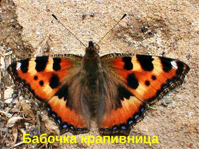 Эту бабочку назвали именно так, потому что её гусеницы живут на крапиве. Бабо...