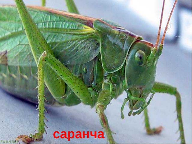 Какое насекомое, родственник кузнечика, страшный сельскохозяйственный вредите...