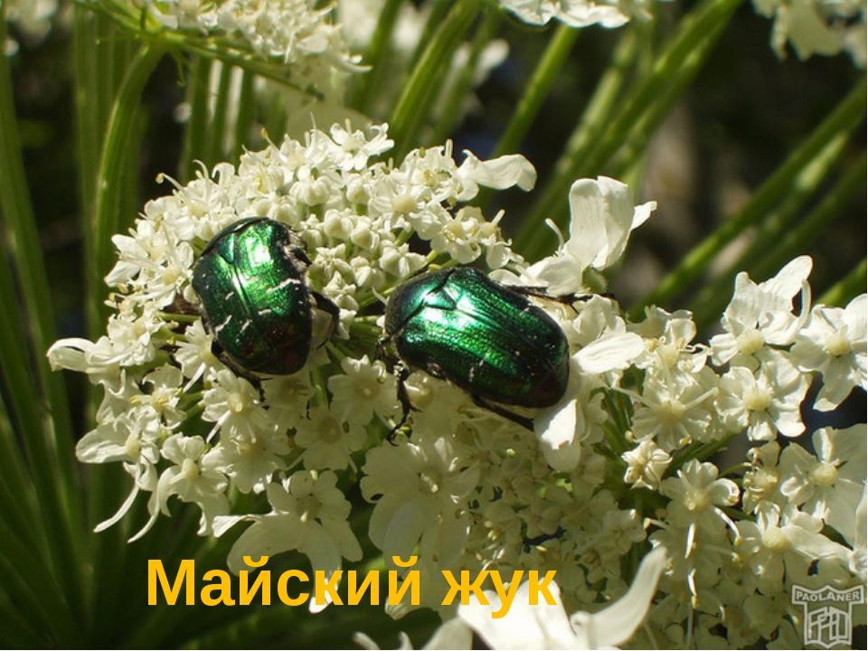 В названии какого жука встречается название месяца? Майский жук