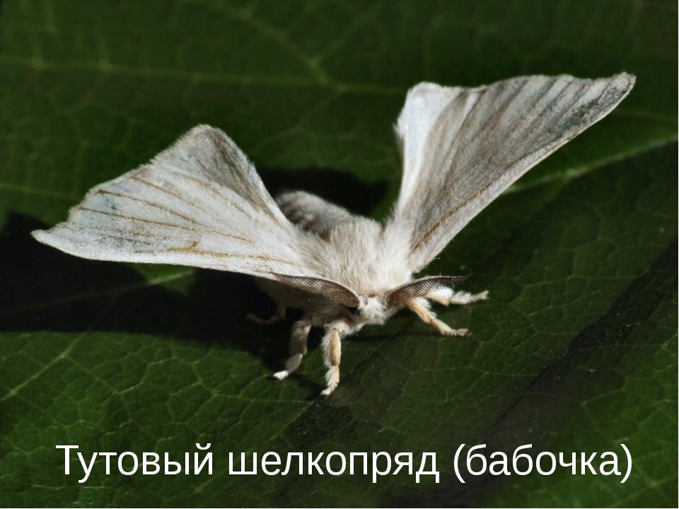 От гусениц какого насекомого люди раньше получали шелк? Тутовый шелкопряд (ба...
