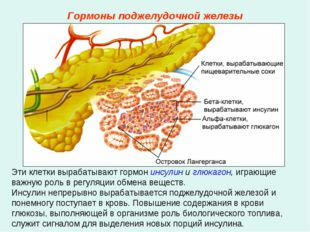 Эти клетки вырабатывают гормон инсулин и глюкагон, играющие важную роль в рег