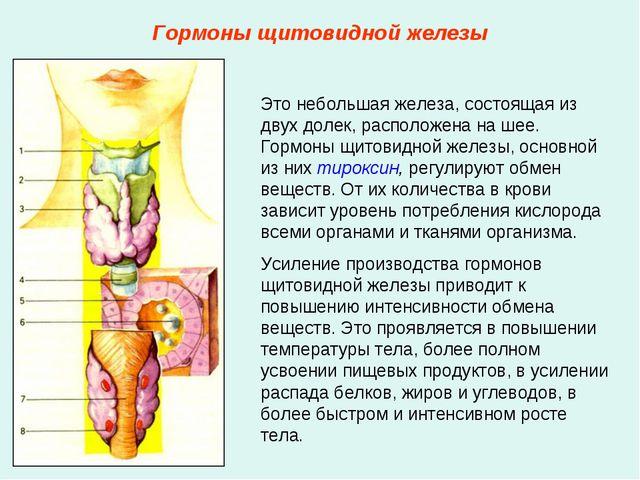 Гормоны щитовидной железы Это небольшая железа, состоящая из двух долек, расп...