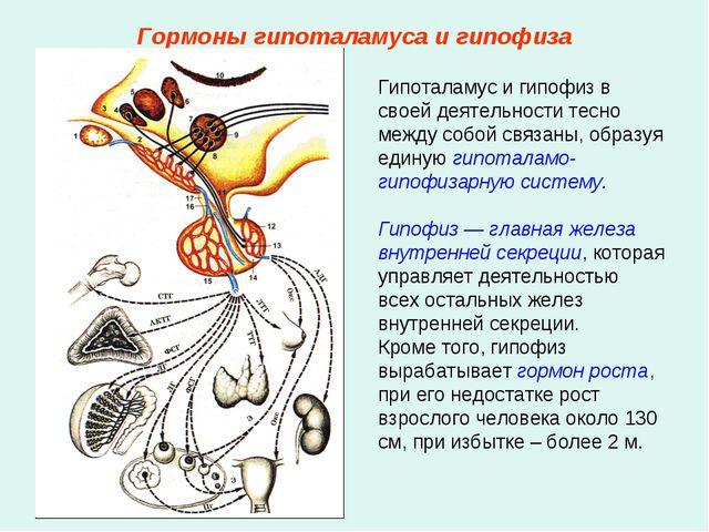 Гормоны гипоталамуса и гипофиза Гипоталамус и гипофиз в своей деятельности те...