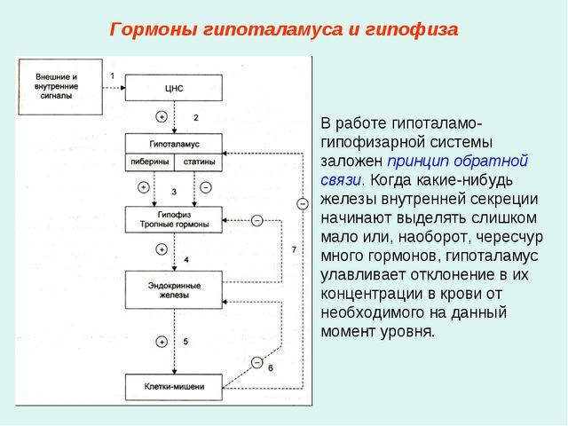 Гормоны гипоталамуса и гипофиза В работе гипоталамо-гипофизарной системы зало...