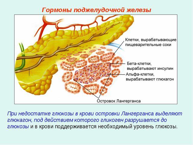 При недостатке глюкозы в крови островки Лангерганса выделяют глюкагон, под де...