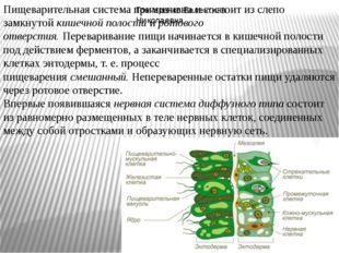Пищеварительная система примитивна и состоит из слепо замкнутойкишечной поло