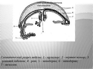 Схематический разрез медузы: 1- щупальце; 2- нервное кольцо; 3 -ротовой хоб