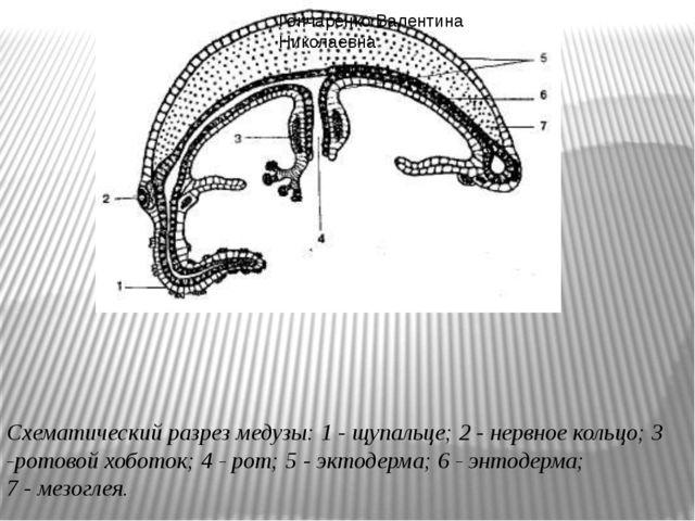 Схематический разрез медузы: 1- щупальце; 2- нервное кольцо; 3 -ротовой хоб...