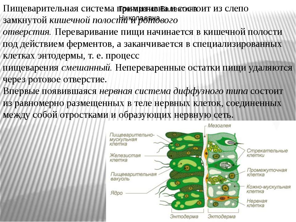 Пищеварительная система примитивна и состоит из слепо замкнутойкишечной поло...
