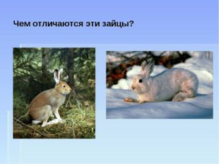 Чем отличаются эти зайцы?