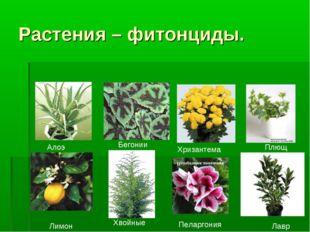 Растения – фитонциды. Алоэ Бегонии Хризантема Плющ Лавр Пеларгония Хвойные Ли