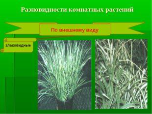 Разновидности комнатных растений По внешнему виду злаковидные