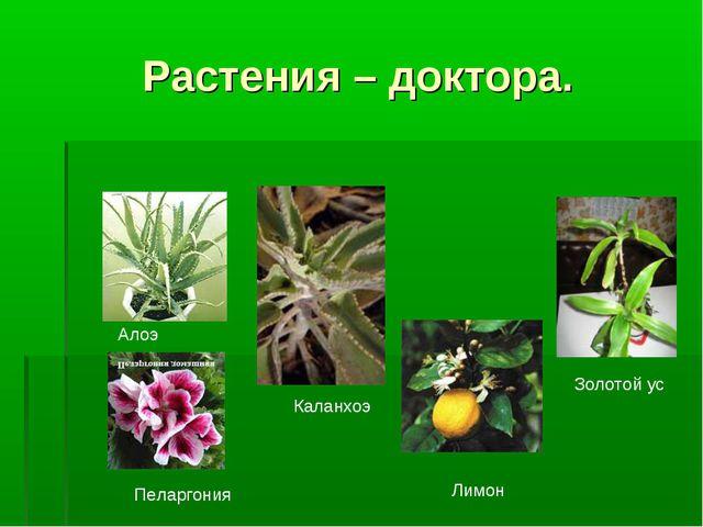 Растения – доктора. Алоэ Пеларгония Каланхоэ Лимон Золотой ус