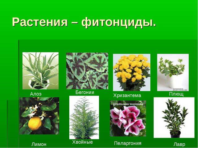 Растения – фитонциды. Алоэ Бегонии Хризантема Плющ Лавр Пеларгония Хвойные Ли...