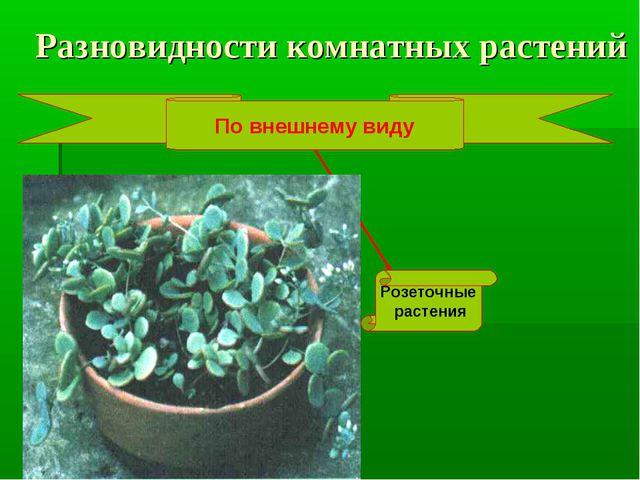 Разновидности комнатных растений По внешнему виду Розеточные растения