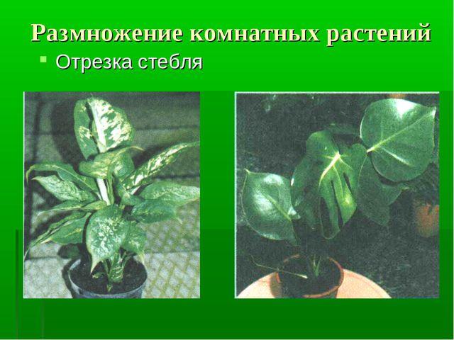 Размножение комнатных растений Отрезка стебля