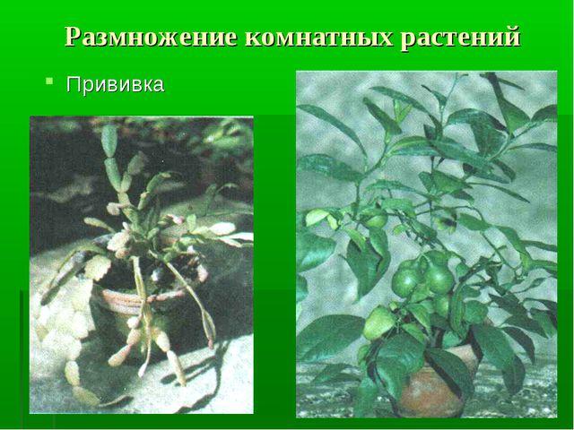 Размножение комнатных растений Прививка