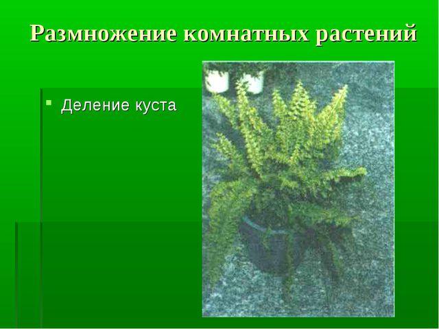 Размножение комнатных растений Деление куста