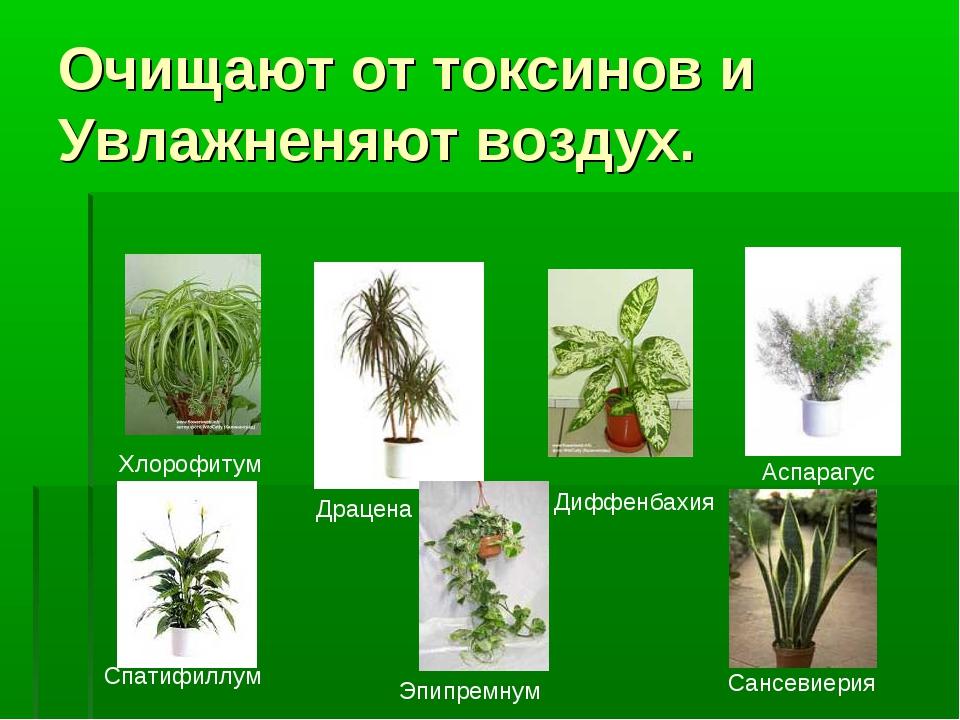 Очищают от токсинов и Увлажненяют воздух. Хлорофитум Драцена Диффенбахия Аспа...