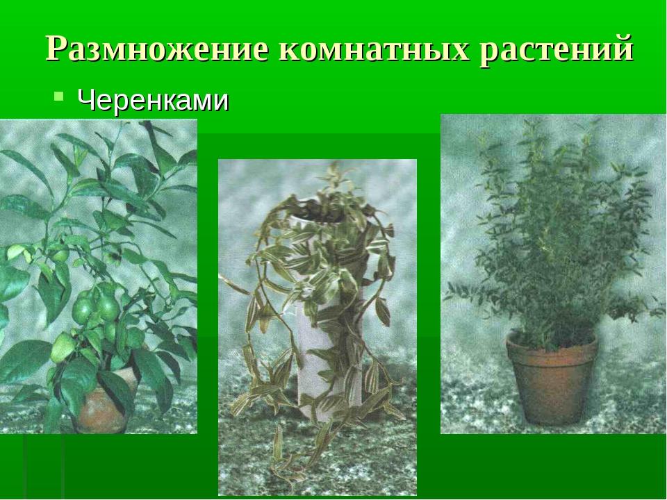 Размножение комнатных растений Черенками
