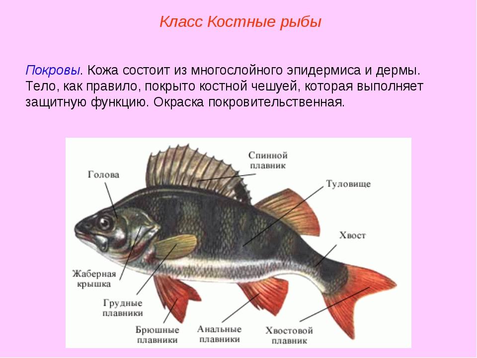 Класс Костные рыбы Покровы. Кожа состоит из многослойного эпидермиса и дермы....