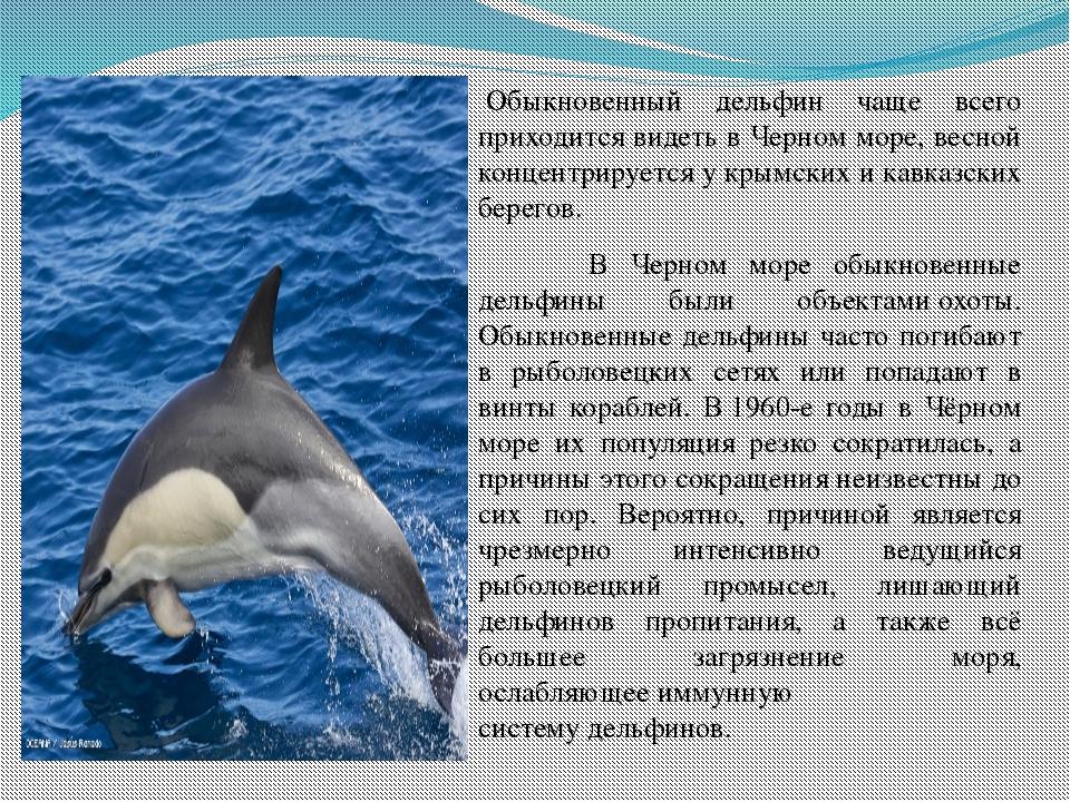 2.3.Обыкновенный дельфин(белобочка) Обыкновенный дельфин чаще всего приходи...