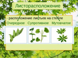 Листорасположение - расположение листьев на стебле Очередное Супротивное Муто