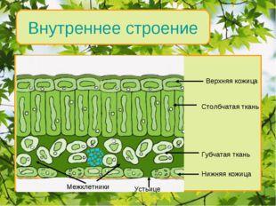 Внутреннее строение Верхняя кожица Столбчатая ткань Губчатая ткань Нижняя кож