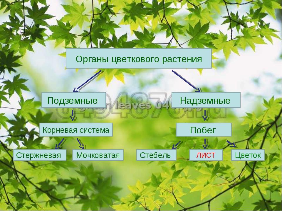 Органы цветкового растения Подземные Надземные Корневая система Стержневая Мо...