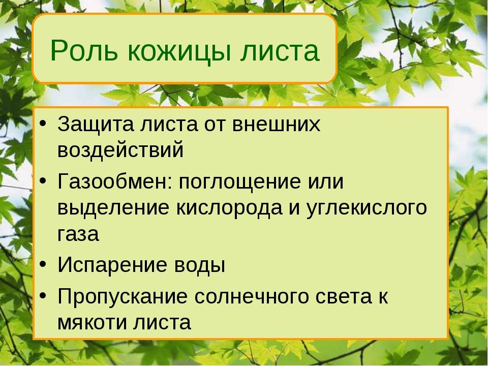 Роль кожицы листа Защита листа от внешних воздействий Газообмен: поглощение и...