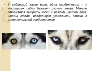 У сибирской хаски есть одна особенность – у некоторых собак бывают разные гла
