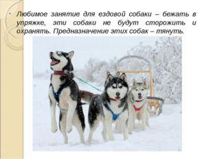 Любимое занятие для ездовой собаки – бежать в упряжке, эти собаки не будут ст