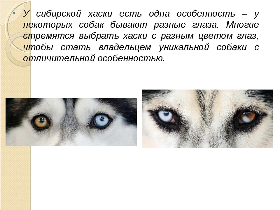 У сибирской хаски есть одна особенность – у некоторых собак бывают разные гла...
