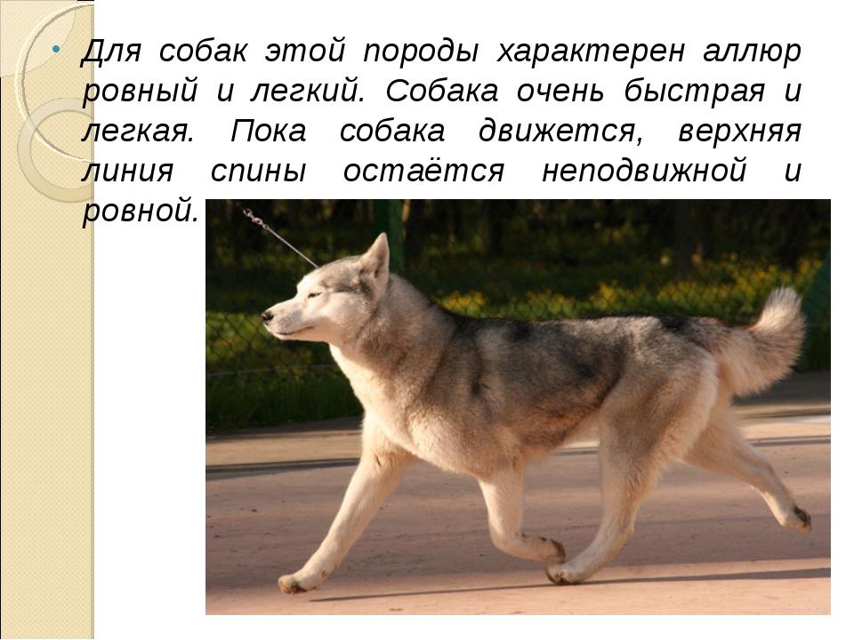 Для собак этой породы характерен аллюр ровный и легкий. Собака очень быстрая...