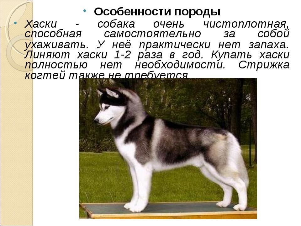Особенности породы Хаски - собака очень чистоплотная, способная самостоятельн...
