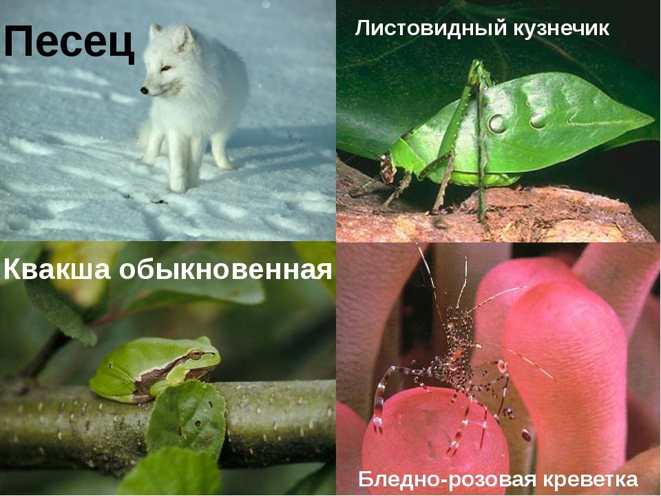 Песец Квакша обыкновенная Бледно-розовая креветка Листовидный кузнечик