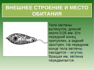 Тело эвглены вытянутое, длиной около 0,05 мм. Его передний конец притуплен, а