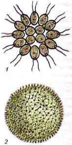 Колониальные жгутиконосцы