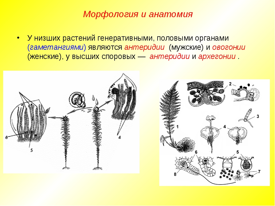 У низших растений генеративными, половыми органами (гаметангиями) являются ан...