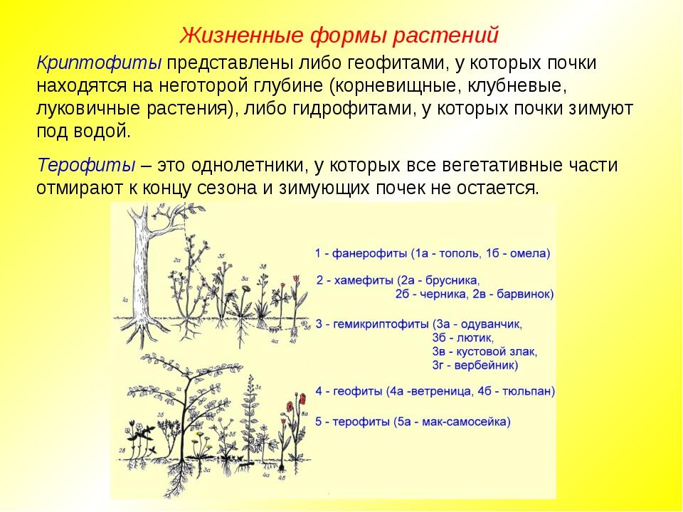 Жизненные формы растений Криптофиты представлены либо геофитами, у которых по...