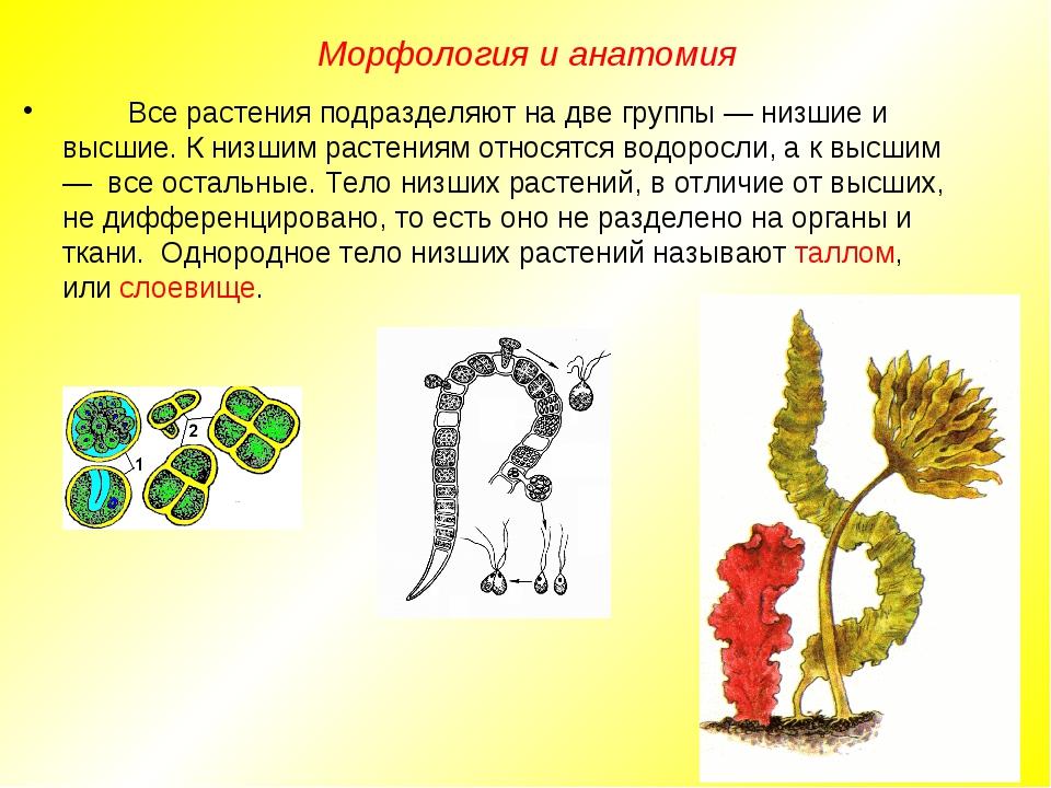 Все растения подразделяют на две группы — низшие и высшие. К низшим растения...