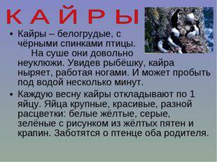 Кайры – белогрудые, с чёрными спинками птицы. На суше они довольно неуклюжи.