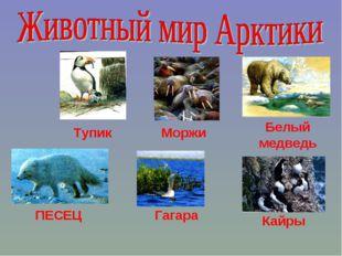 Моржи Белый медведь Тупик ПЕСЕЦ Гагара Кайры