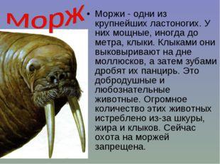 Моржи - одни из крупнейших ластоногих. У них мощные, иногда до метра, клыки.