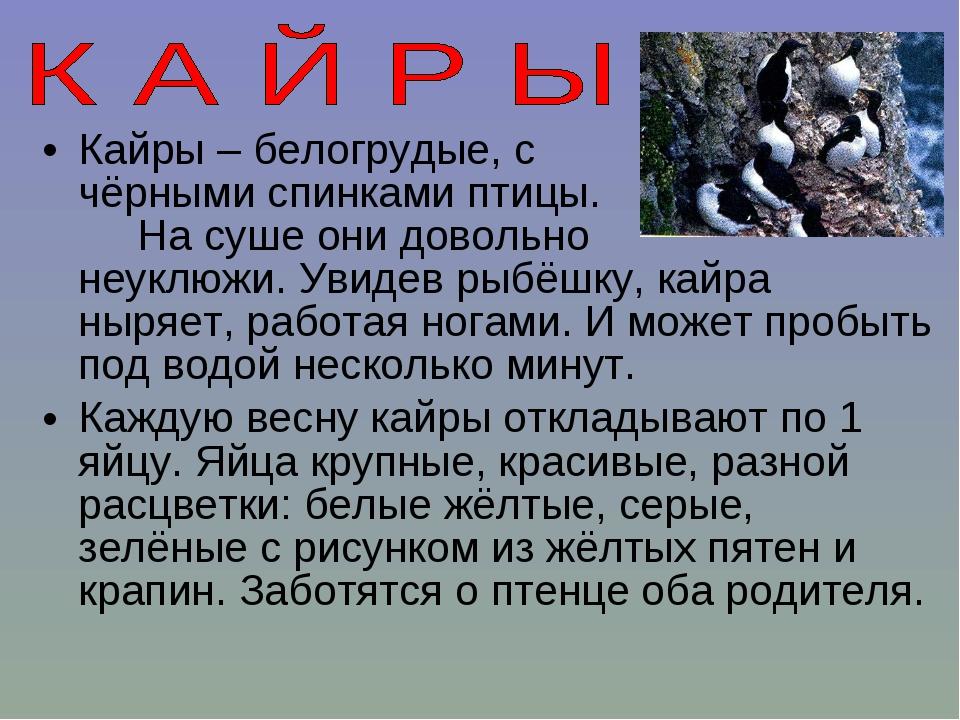 Кайры – белогрудые, с чёрными спинками птицы. На суше они довольно неуклюжи....